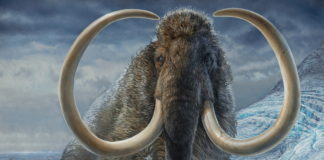A new tusk analysis reveals the life-cycle of an ancient Alaska woolly mammoth