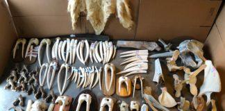 Alaska store owner sentenced for illegally trafficking walrus ivory
