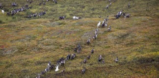 For the second year in row, large numbers of wild reindeer are found dead along Russia's Khatanga River