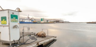 Where's Wally? The wandering celebrity walrus is spotted in Iceland