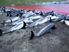 Faroe Islands will look into dolphin hunt after a record high catch