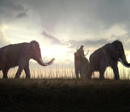Bringing woolly mammoths back from extinction might not be such a bad idea — ethicistsexplain