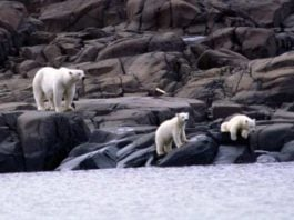 Polar bears may be inbreeding as climate change melts away Arctic ice