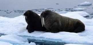 Scientists find a record number of Atlantic walruses in the Russian Arctic